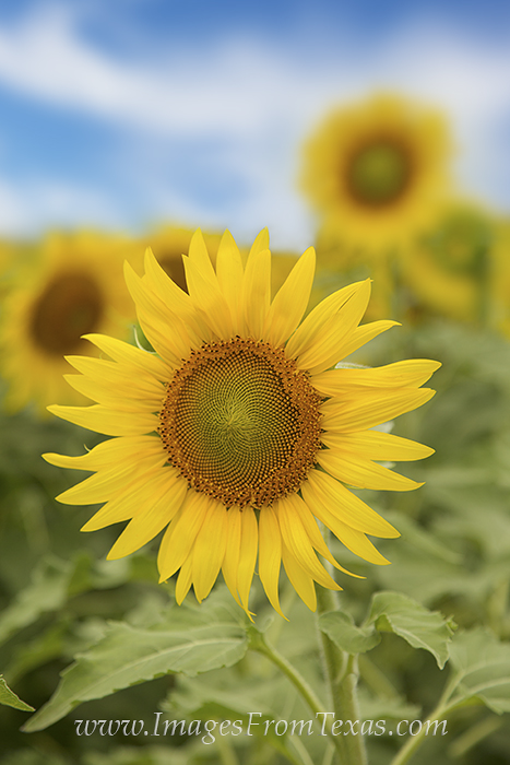 sunflower images,texas sunflowers,texas sunflower photos,sunflower prints,texas wildflowers, photo