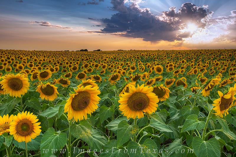 Sunflower Imagestexas Sunflowerstexas Wildflowerstexas Wildflower Hill Country