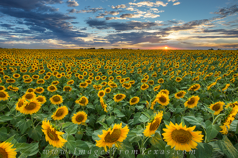 texas sunflowers,texas wildflowers,texas hill country,landscapes of texas,texas prints,texas photographs