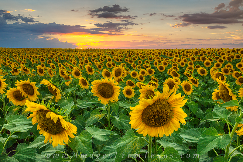 texas wildflower photos,texas sunflowers,sunflower images,texas hill country,waxahachie,texas landscapes, photo