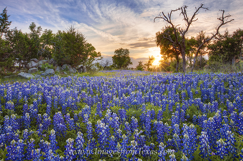 bluebonnet images,texas wildflowers,texas hill country,bluebonnet prints,texas landscapes,texas spring,texas sunset, photo