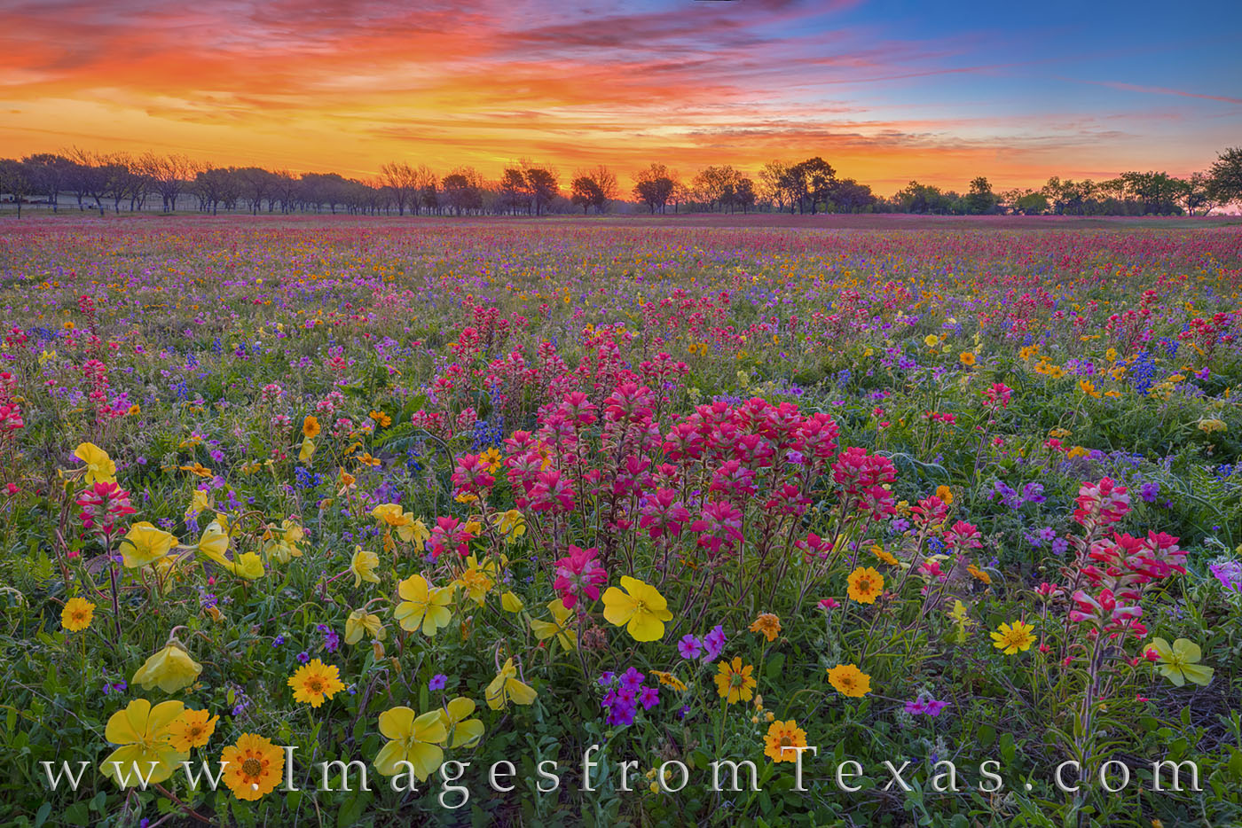 Wildflowers, bluebonnets, tickseed, coreopsis, phlox, primrose, paintbrush, new berlin, church road, single oak road, rural, spring, sunrise, morning, frost, cold, calm, April, photo