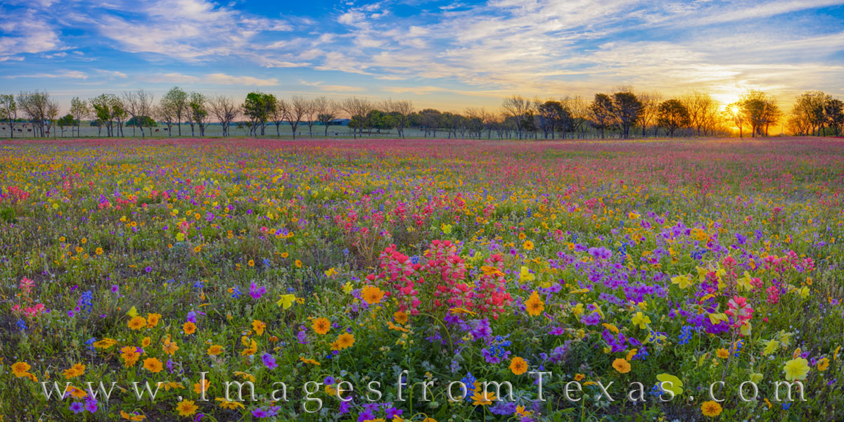 Wildflowers, panorama, new berlin, spring, april, red, blue, yellow, gold, purple, phlox, bluebonnets, coreopsis, groundsel, paintbrush, primrose, buttercups, private, sunrise, sunburst, photo