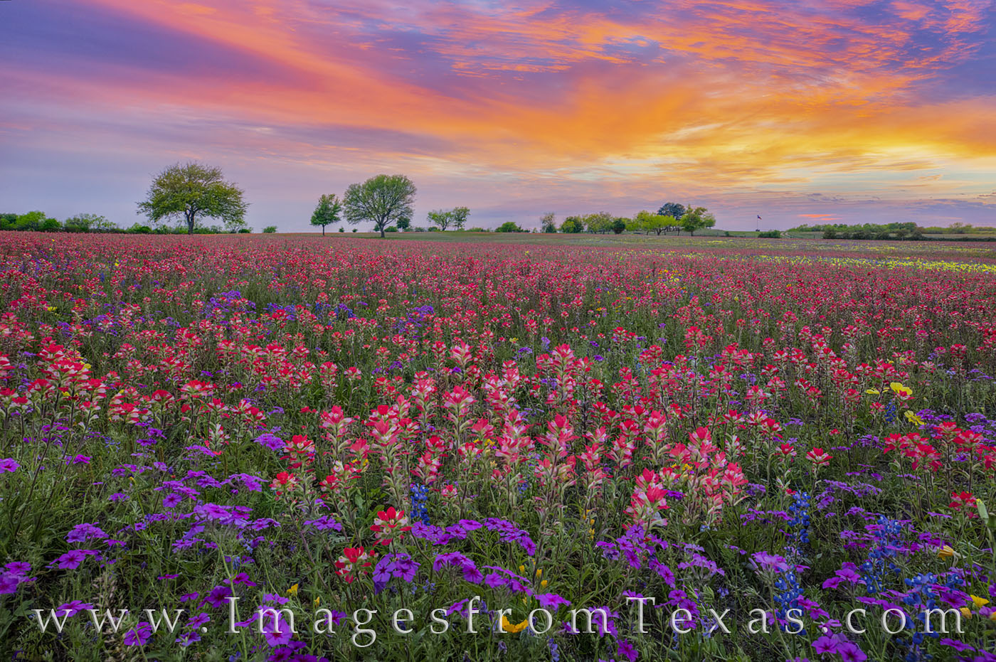Wildflowers, Texas, bluebonnets, phlox, groundsel, coreopsis, Missouri primrose, primrose, buttercups, paintbrush, new berlin, church road, san Antonio, spring, march, photo
