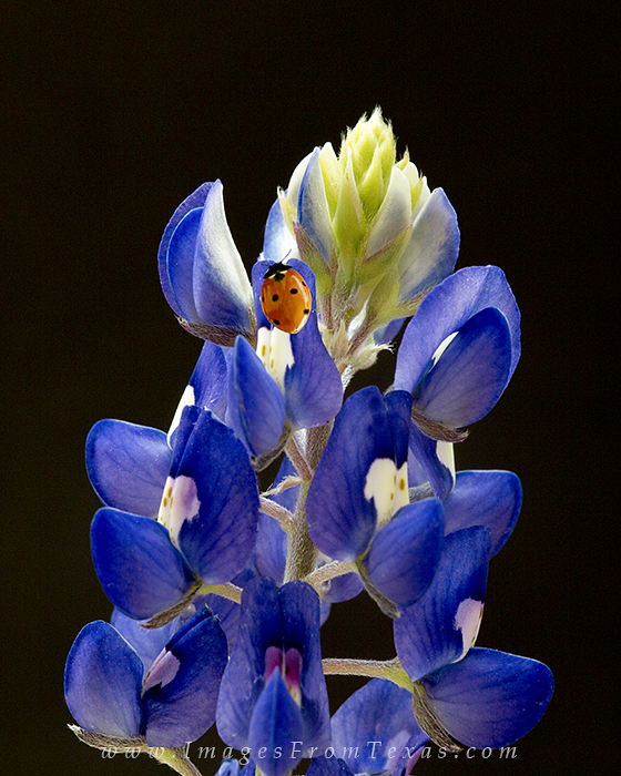 bluebonnet pictures,ladybug photos,lupinus,texas wildflowers, photo