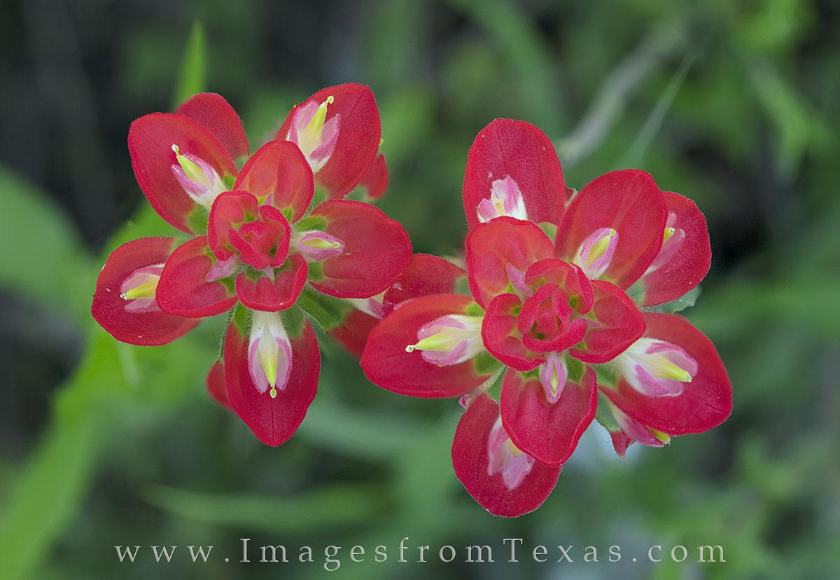 texas wildflowers, texas wildflower photos, indian paintbrush, macro, paintbrush, lupine, texas flowers, photo