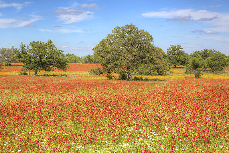 texas wildflowers,texas hill country,texas wildflower photos,hill country photos,windflower prints,texas landscapes,firewheels,paintbrush, photo