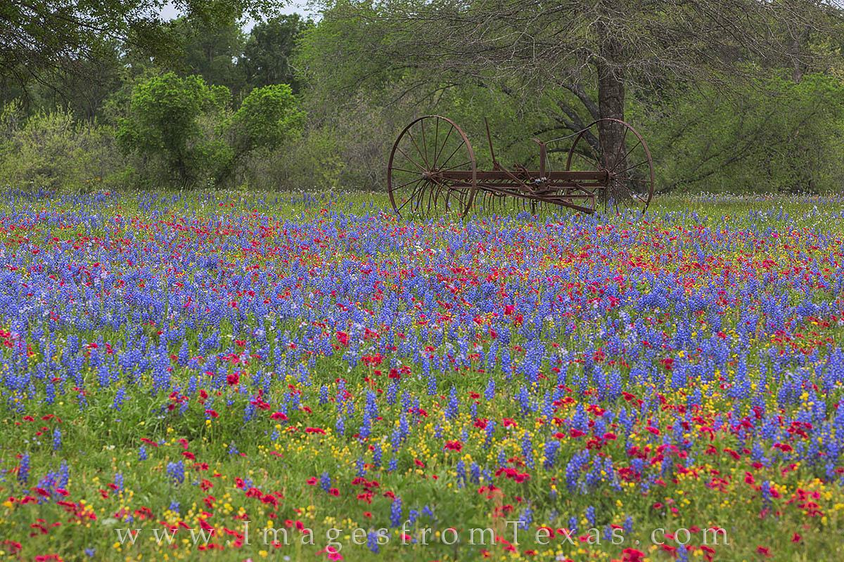 texas wildflowers, bluebonnets, luling, texas spring, spring wildflowers, phlox, photo