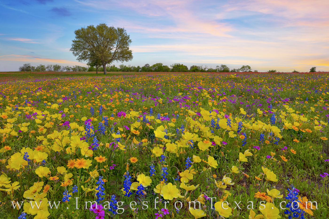 Wildflowers, Texas, bluebonnets, phlox, groundsel, coreopsis, Missouri primrose, primrose, buttercups, paintbrush, new berlin, church road, san Antonio, spring, march, photo