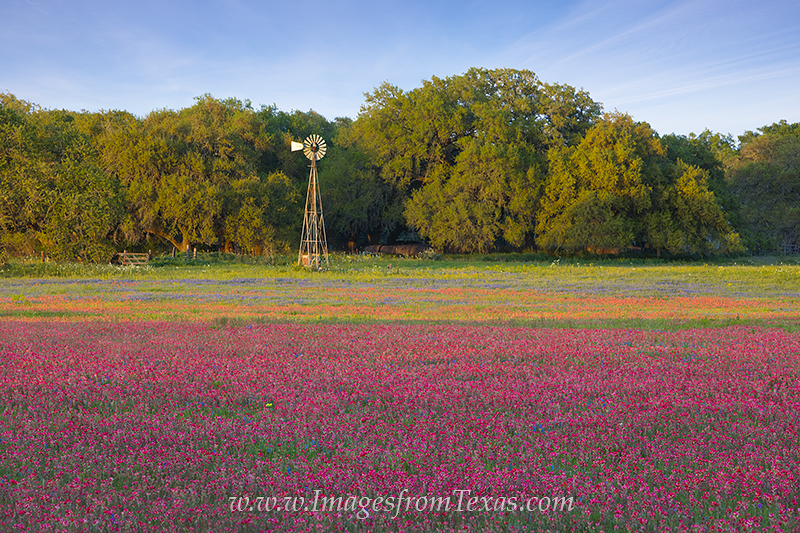 texas wildflowers,bluebonnets,windmill,bluebonnet images,texas wildflower prints,indian paintbrush,texas in spring,texas prints, photo