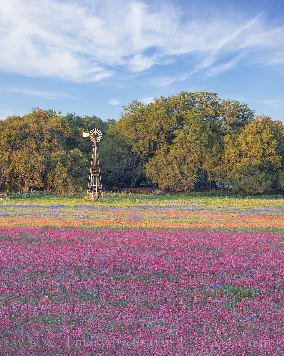 texas wildflowers, texas wildflower photos, bluebonnets, paintbrush, texas spring, photo