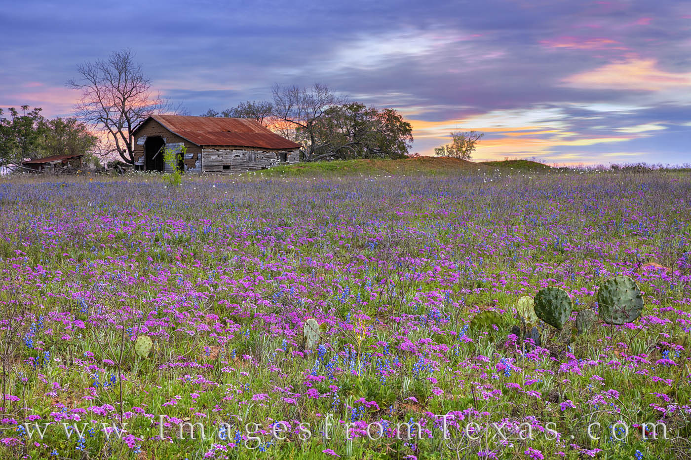 Pink blooms of phlox cover a field on a cool March evening south of San Antonio. In the distance, an old barn still stands, a...