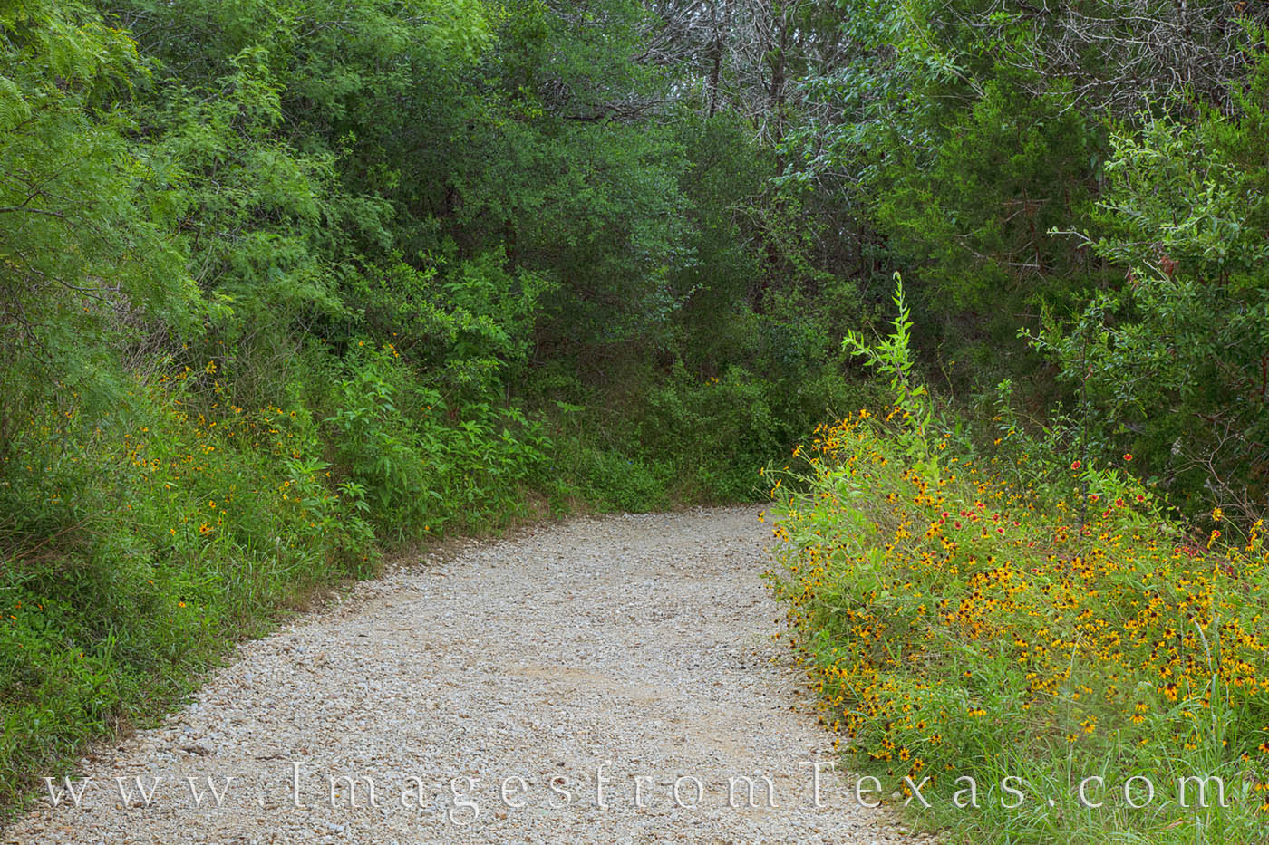 Not far from the parking lot of the Lower Falls area in McKinney Falls State Park, this trail was lined with black-eyed susans...