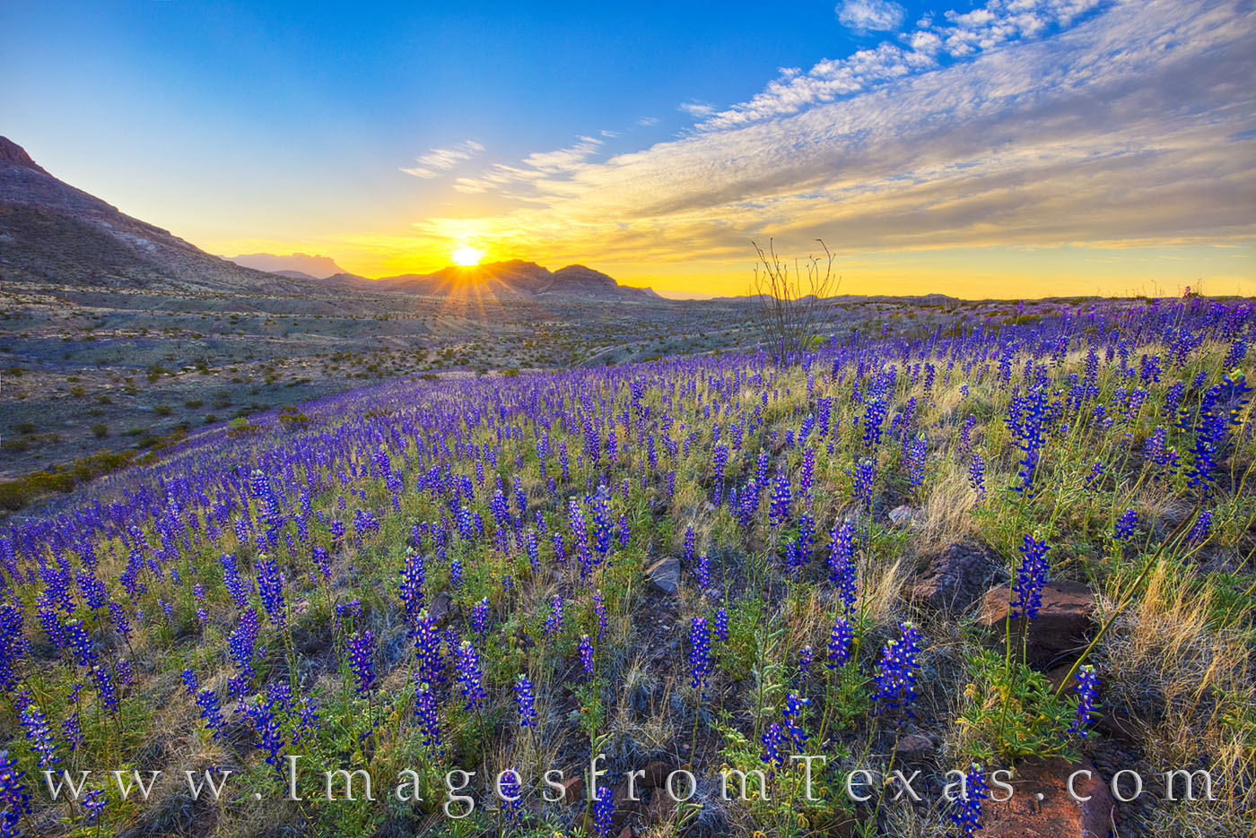 bluebonnets, big bend national park, big bend bluebonnets, west river road, river road west, sunrise, dirt road, desert bloom, chisos mountains, photo