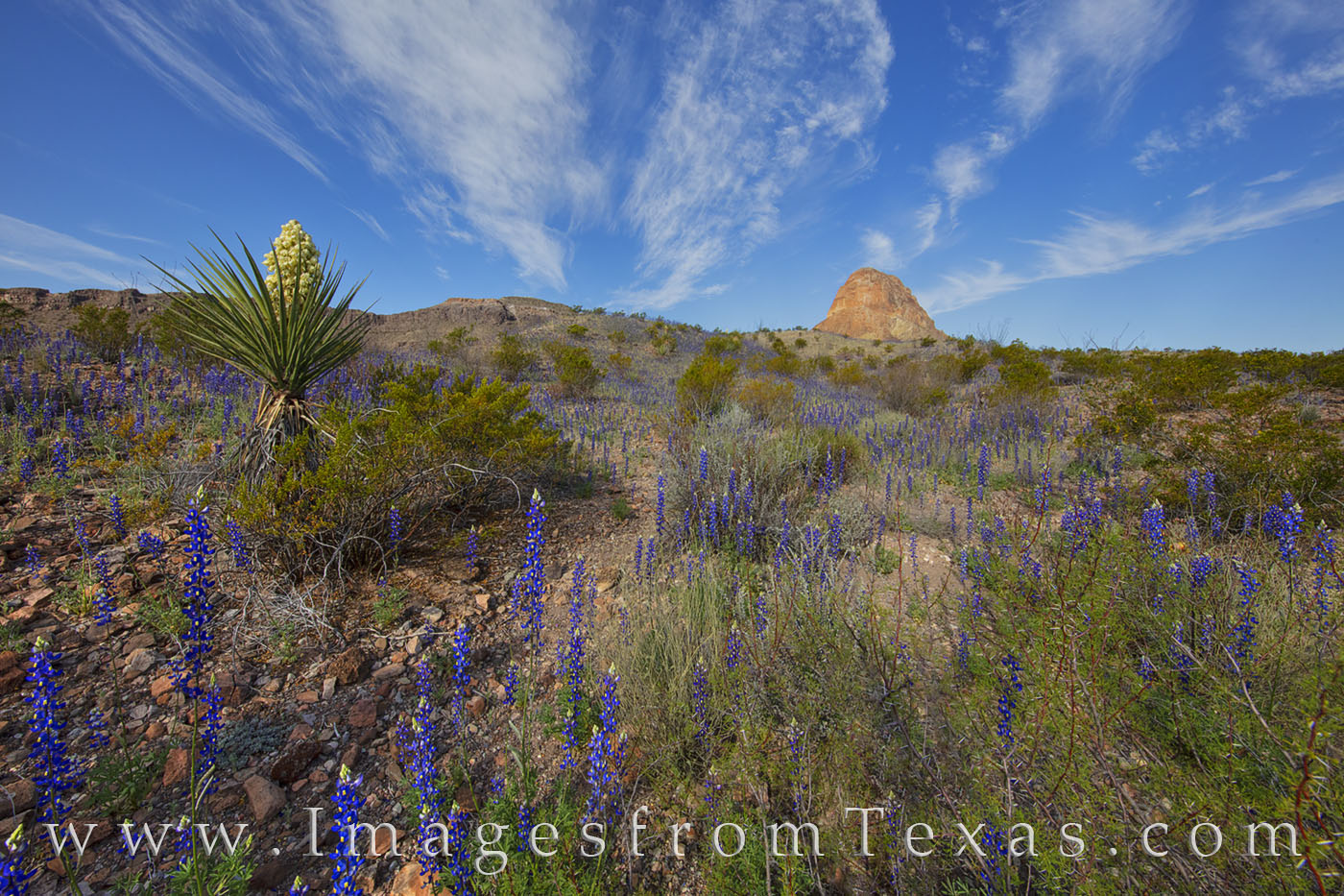 river road west, bluebonnets, big bend, yucca, cerro castellan, wildflowers, desert bloom, spring, chisos mountains, desert, photo