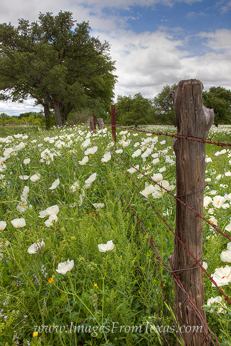 Texas wildflower images,Texas wildflower pictures,Texas wildflower photos,texas wildflowers,texs flowers,wildflowers in texas,wildflowers of texas,bluebonnet images,bluebonnet pictures,bluebonnet phot, photo
