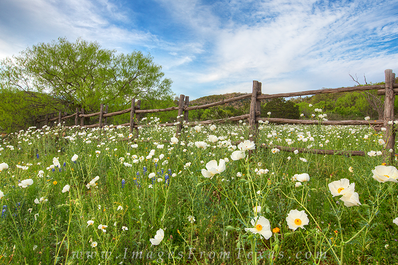 texas wildflowers,texas wildflower photos,poppies,texas landscapes,wooden fence,texas spring, photo