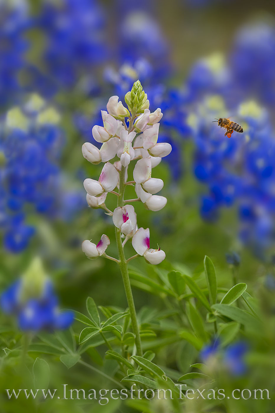 bluebonnets, whitebonnets, white bonnet, wildflowers, bees, hill country, texas wildflowers, texas blueobonnets, white, blue, portrait