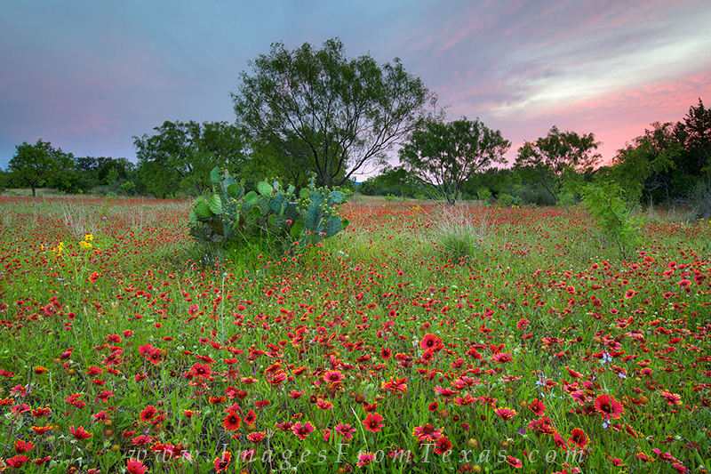 texas wildflowers,texas wildflower prints,texas hill country wildflowers,indian blankets, photo