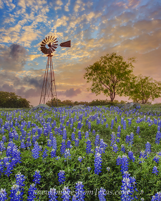 bluebonnets,windmill,texas hill country,texas sunrise,bluebonnets and windmill,texas landscapes,texas wildflowers, photo