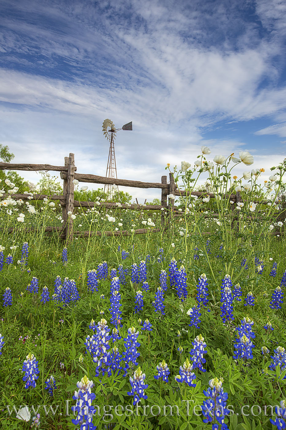 An old wooden fence stands among a spring bloom of bluebonnets and white prickly poppies. In the distance, a windmill rises up...