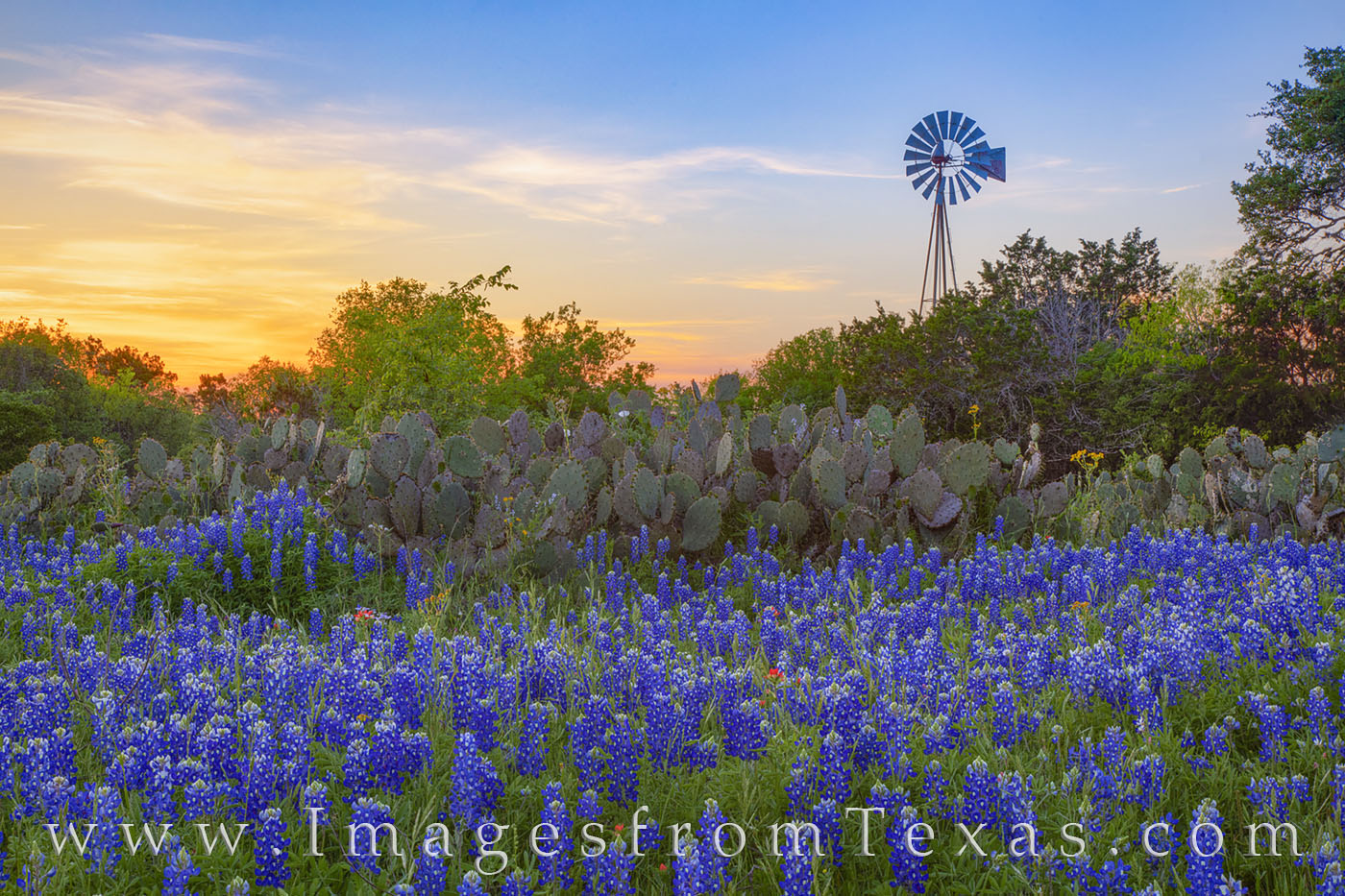 Bluebonnets, windmill, Johnson city, hill country, wildflowers, cacti, april, spring, 1320, evening, sunset, photo