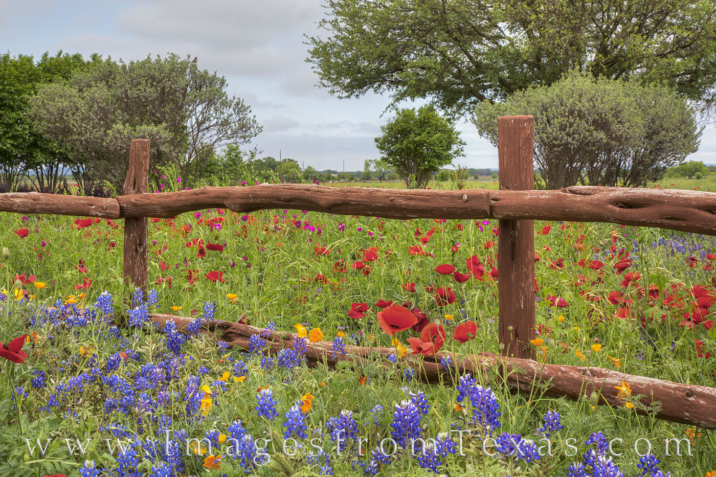 bluebonnet photos,texas wildflower photos,bluebonnet prints,texas hill country,wooden fence, photo