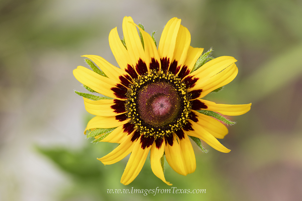 texas wildflowers,yellow wildflowers,texas wildflower images,texas wildflower prints, photo