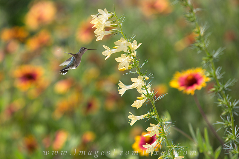 texas wildflower photos,hummingbird images,texas sage,yellow wildflowers, photo