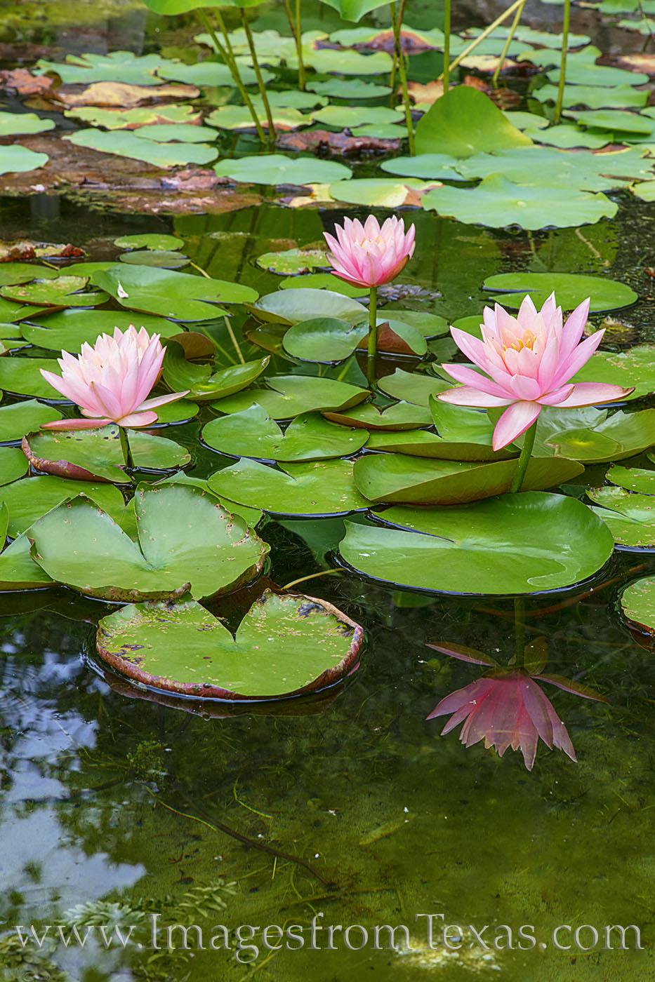 zilker gardens, botanical gardens, water lilies, austin, photo